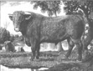 THE SHORTHORN BULL