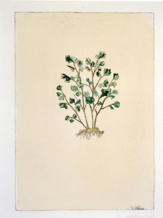 ASPLENIUM ADIANTUM NIGRUM (BLACK SPLEENWORT) BY ANNA FERGUSON