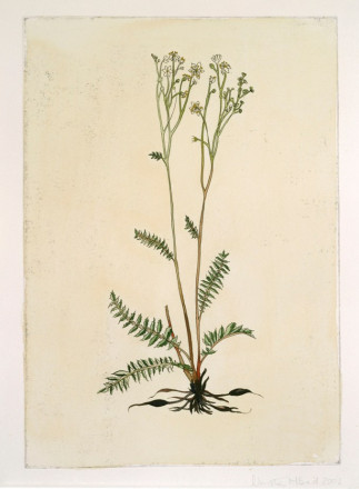 FILIPENDULA VULGARIS (DROPWORT) BY AMY WILSON
