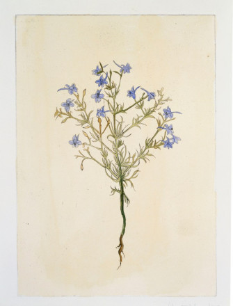 DELPHINIUM CONSOLIDA (FORKING LARKSPUR) BY DENISE THE