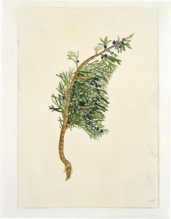 JUNIPERA SABINA (JUNIPER) BY CHRISTINE BORLAND