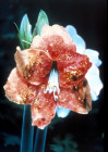 INTRA-EPIDERMAL CARCINOMA