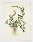 MENTHA OULEGIUM (PENNY ROYAL) BY SADIE TIERNY