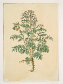 PEUCEDANUM OFFICINALE (HOGS FENNEL) BY REBECCA CONWAY