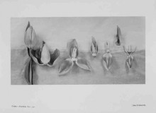 TULIPA - DISSECTIONS NO 8